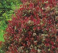Photinia fraseri´Red Robin´(Glansmispel)